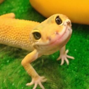 l-Leopard-Gecko